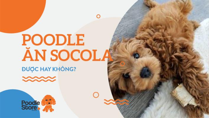 Poodle ăn socola được hay không?