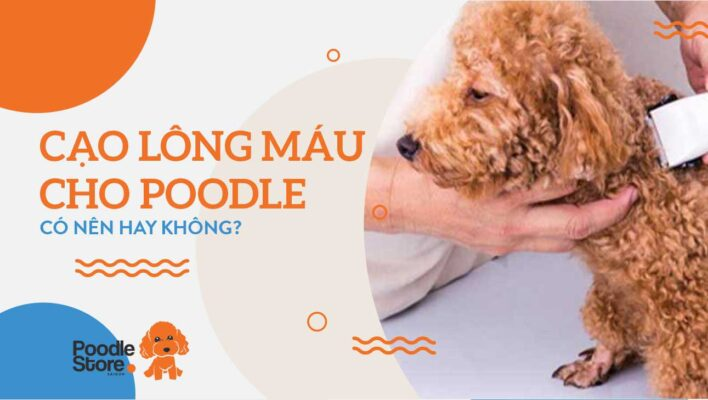 Cạo lông máu cho Poodle có nên không?