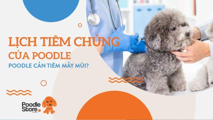 Lịch tiêm chủng của Poodle - Poodle cần tiêm mấy mũi