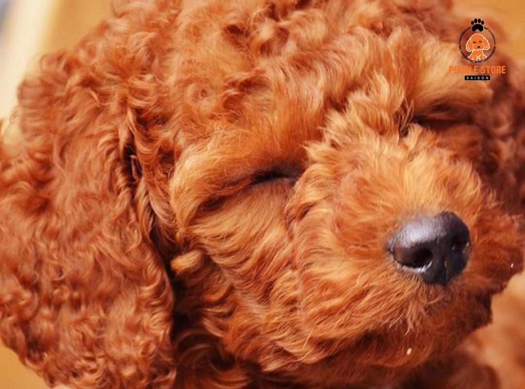Poodle được định giá tùy theo nguồn gốc xuất xứ và cả màu sắc