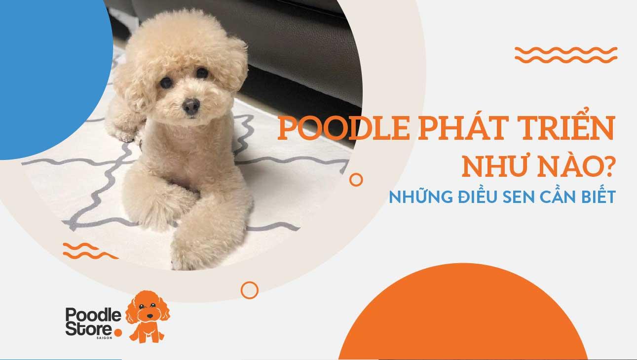 Poodle phát triển như thế nào những điều sen cần biết
