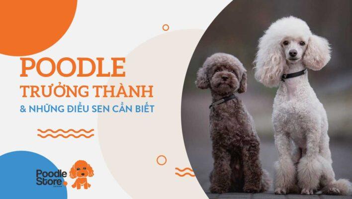 Poodle trưởng thành và những điều sen cần biết
