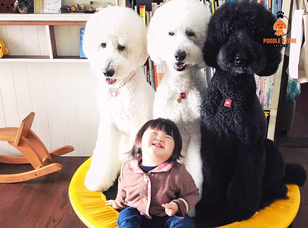 Những điều thú vị ở tính cách của Poodle giant