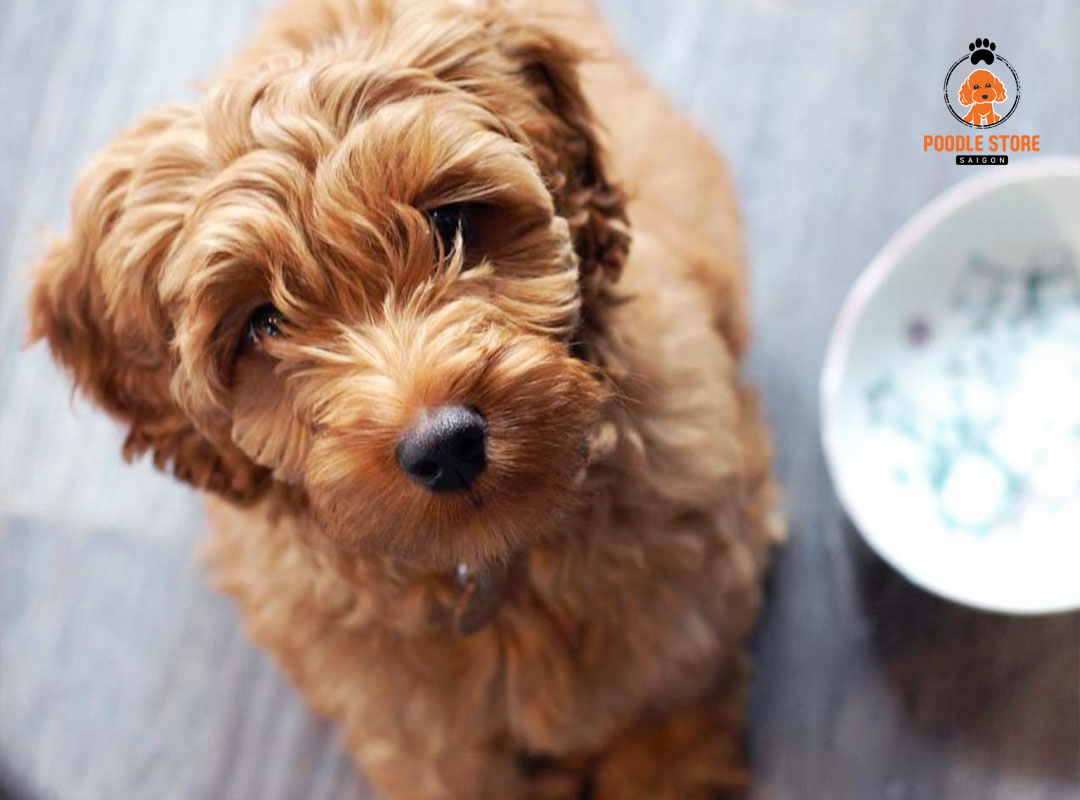 Nguyên nhân khiến Poodle ăn không tiêu.