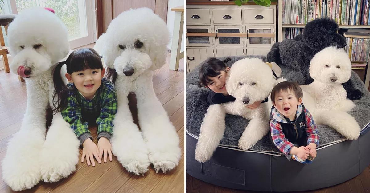 Cách để Poodle giant luôn khỏe mạnh