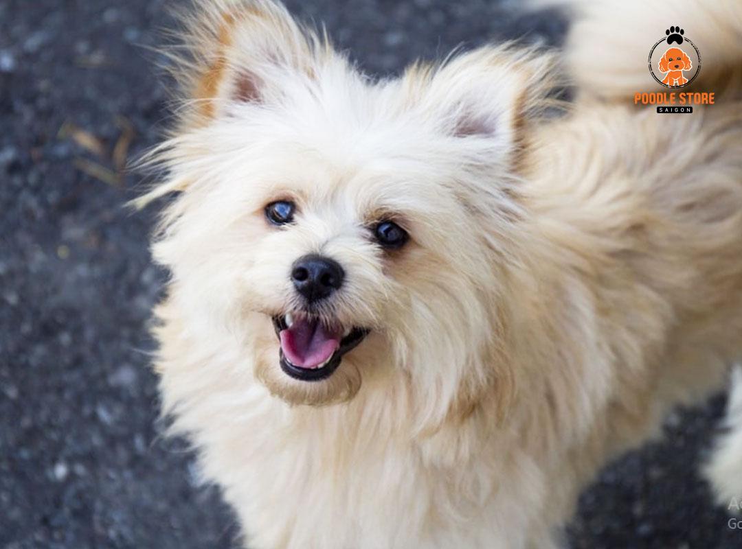 Chó Poodle phối giống Phốc sóc (Pomeranian)