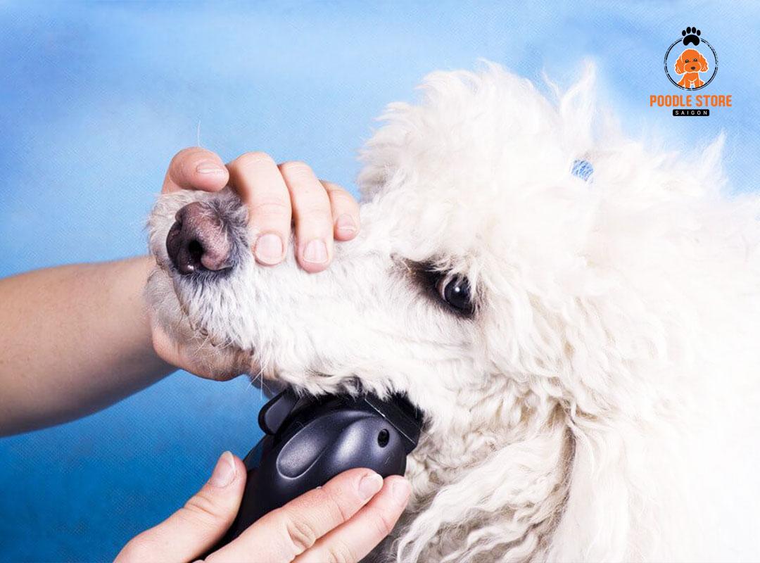 Đưa Poodle ăn không tiêu đến bệnh viện dành cho thú cưng.