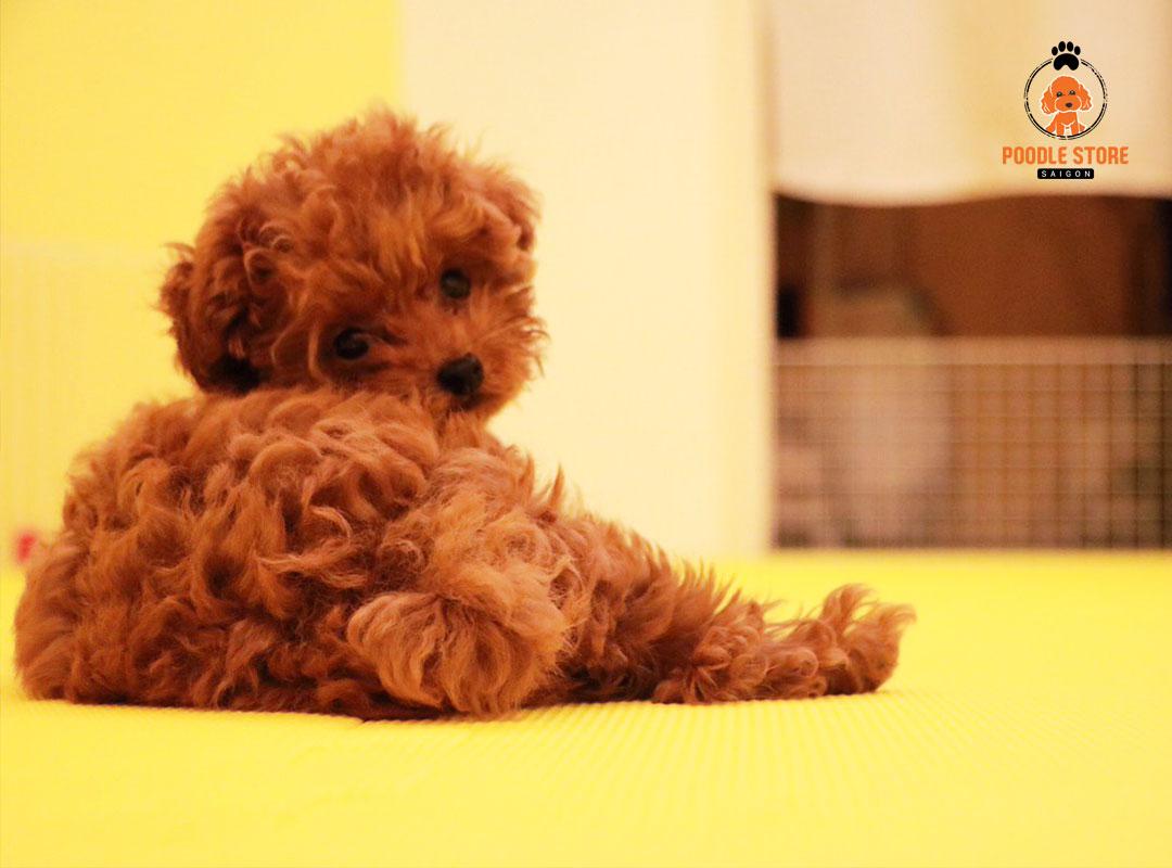 Cách khắc phục chó Poodle bị bạc lông
