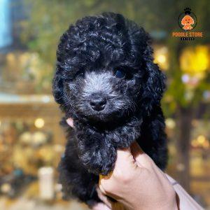 Chó Poodle Xám