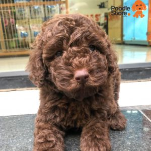 Chó Poodle socola