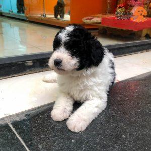 Chó Poodle Bò Sữa