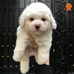 Chó Poodle Trắng