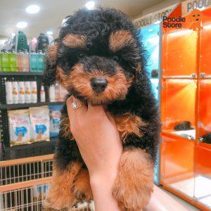 Chó Poodle Phantom