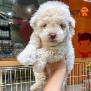 Chó Poodle Trắng Kem