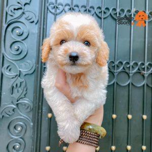 Chó Poodle Bò Nâu