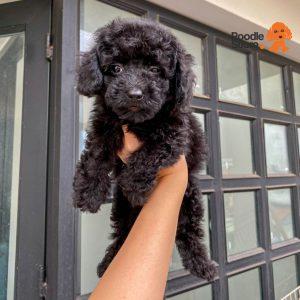 Chó Poodle Đen