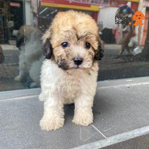 Chó Poodle Bò Mơ