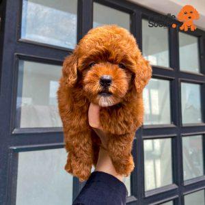 Chó Poodle Nâu Đỏ